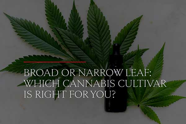 broad-or-narrow-leaf-which-cannabis-cultivar-is-right-for-you