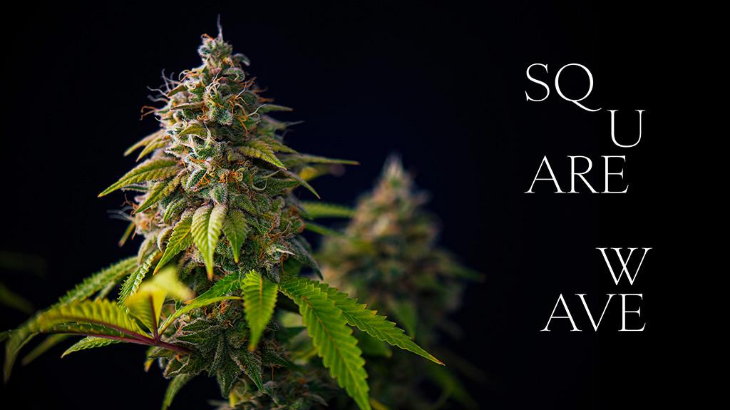 Squarewave cannabis flower cultivar