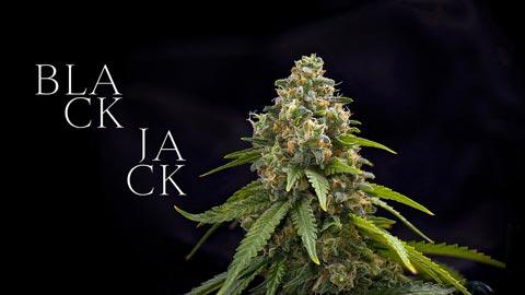 Black-Jack_mobile