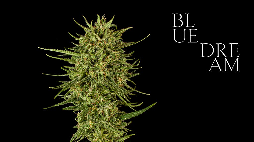 Blue Dream cannabis flower cultivar