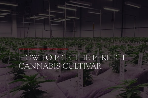 How to Pick the Perfect Cannabis Cultivar
